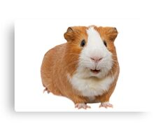 red guinea pig Canvas Print