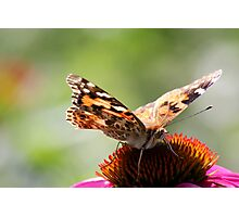 Painted Lady Butterfly II Photographic Print