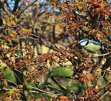 Blue tit on acer palmatum by turniptowers