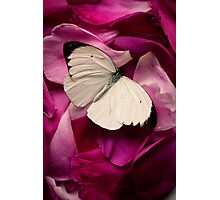 White Butterfly Among Flower Petals Photographic Print