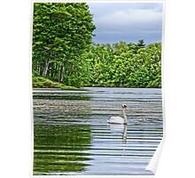 Swan Swimming in Spring Poster