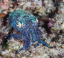 Bobtail Squid by Mark Rosenstein