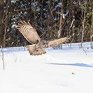 A Great Grey Owl in flight by Josef Pittner