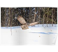 A Great Grey Owl in flight Poster