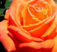 BEAUTIFUL PEACH ROSE Sticker