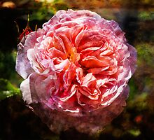 English Rose by thomr