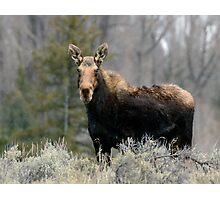 Shiras Moose Photographic Print