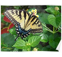 Tiger Swallowtail on Lantana Flowers Poster
