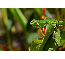 Baby Green Iguana II Photographic Print