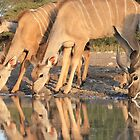 Kudu - African Wildlife Background - Reflection of Pleasure by LivingWild