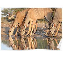 Kudu - African Wildlife Background - Reflection of Pleasure Poster