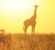 Giraffe - African Wildlife Background - Golden Posture by LivingWild