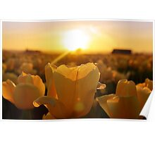 Golden Tulips Poster