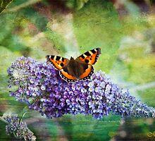 Beauty on the Buddlia by maureen bracewell