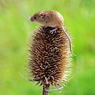 Harvest Mouse by Stephen Frost