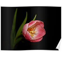 Pink Two Tone Tulip Poster