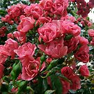 Climbing Rose by Roachelle Playle