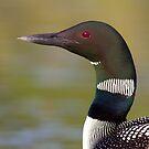 Common loon neckline by Jim Cumming