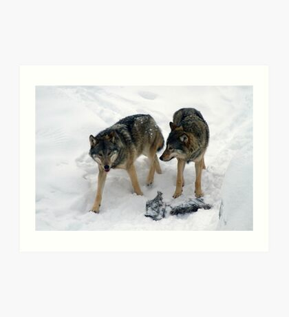 A pair of European gray wolves (Canis lupus), in snow, Finland, Lapland Art Print