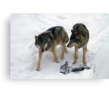 A pair of European gray wolves (Canis lupus), in snow, Finland, Lapland Canvas Print