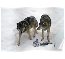 A pair of European gray wolves (Canis lupus), in snow, Finland, Lapland Poster
