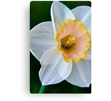 Salmon Daffodil Canvas Print