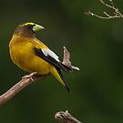 MALE EVENING GROSBEAK by Sandy Stewart