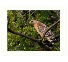 Hawk watching prey Art Print
