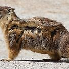 The marmot who poses in the wind by Anthony Brewer