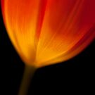 Tulip Lit From Within by Anna Ridley
