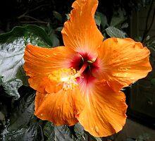 BEAUTIFUL PEACH HIBISCUS OPEN TO THE SUN by JAYMILO