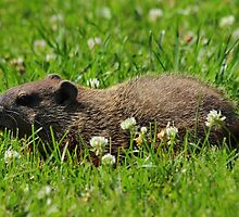 Groundhog with White Clover by Kane Slater