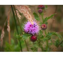 Beetle In A Thistle Flower Photographic Print