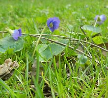 Violets in the Grass by FeliciaMarie722