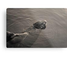 Sea Lion II Toned Metal Print