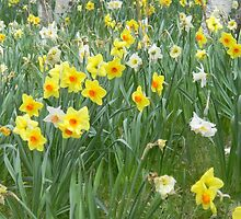 Mixed Daffodils  by FeliciaMarie722