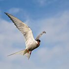 Arctic Tern in flight by M.S. Photography & Art