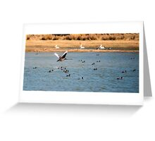 Black swan flying above water Greeting Card