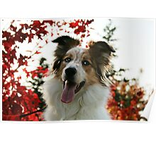Aussie in Autumn Poster