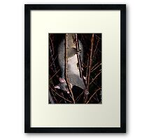 Possum......the thief in the night......! Framed Print