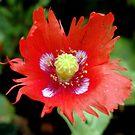 Poppy Miscellany by Janone