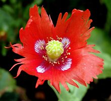 Poppy Miscellany by Janone