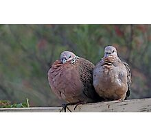 Spotted Turtle Doves  Photographic Print