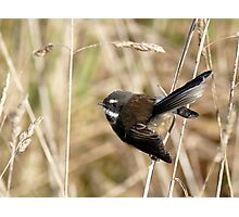 Natures Little Poser - Fantail - NZ Photographic Print