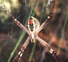 St Andrew's Cross Spider (Argiope keyserlingi) Sticker