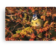 Young blue tit on acer palmatum  Canvas Print