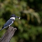 Belted Kingfisher with fish by Jim Cumming