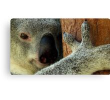 Australian Koala Canvas Print