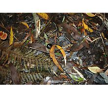 Snail's Pace on the Rainforest Floor - Otway Ranges Photographic Print