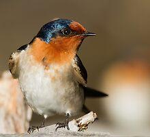Perky Swallow by byronbackyard